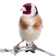 European Finches